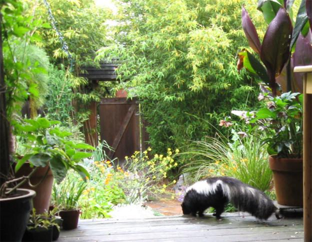 skunk-in-garden