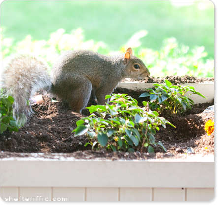 squirrel-in-garden