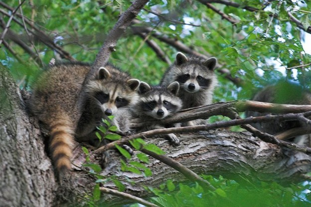 raccoons-photo-by-gary-j-wood