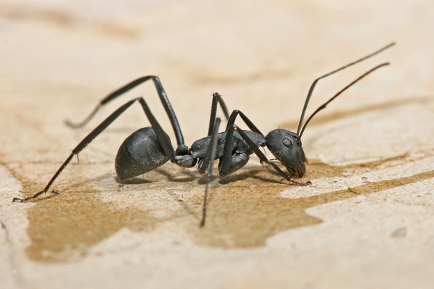 Carpenter_ant_Tanzania_crop