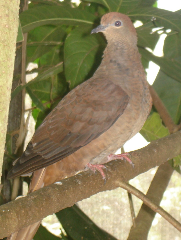 Macropygia_phasianella_(Brown_Cuckoo-dove)-6